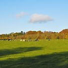 Cattle grazing by Declan Carr