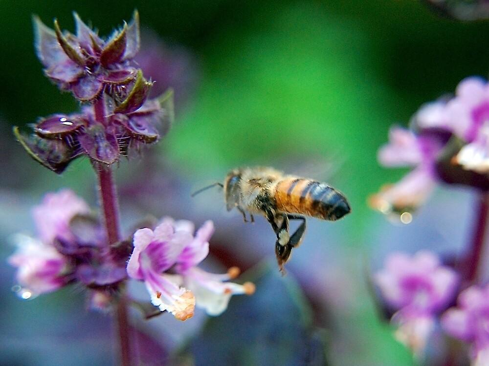 Bee on Basil by Jack Bridges