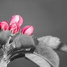apple blossoms by jhawa
