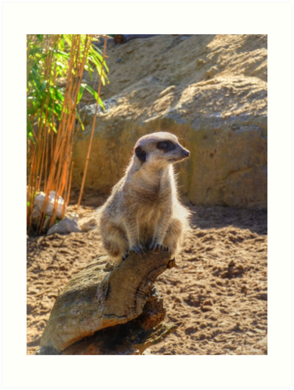 Meerkat by Vicki Spindler (VHS Photography)