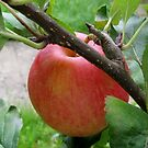 The very first apple on my tree by bubblehex08