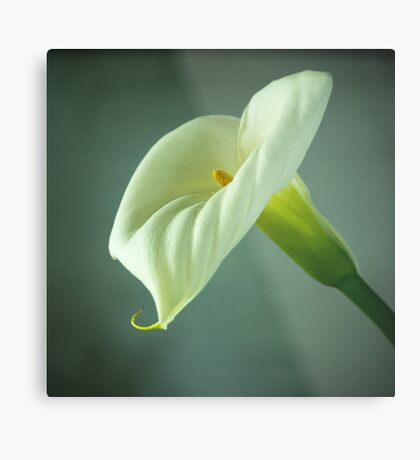 Arum Lily - From the Heart Metal Print