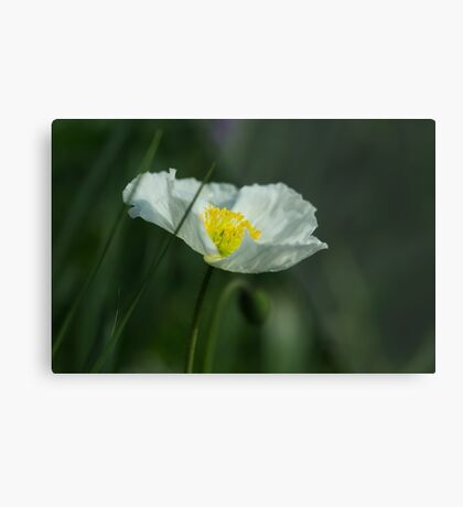 Good Morning White Poppy Metal Print