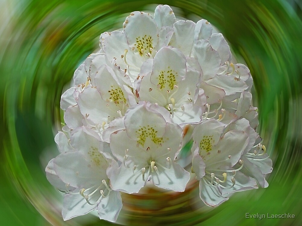 Rhododendron by Evelyn Laeschke