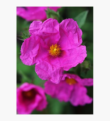 Sun rose (Helianthemum) Photographic Print