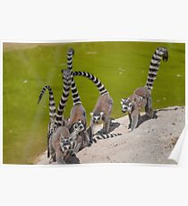 lemur at the zoo Poster