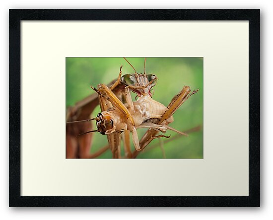 Munching Mantis by Dan Dexter