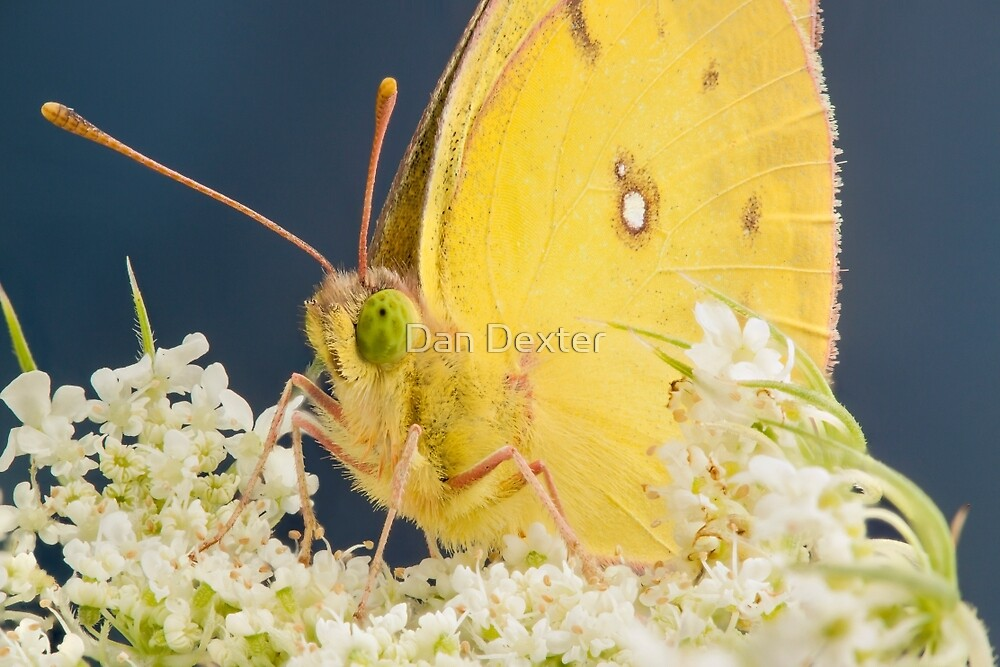 Yellow Sulfur Butterfly on Queen's Lace by Dan Dexter