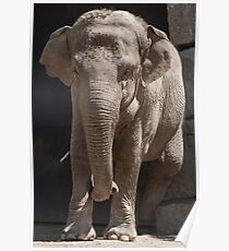 elephant at the zoo Poster