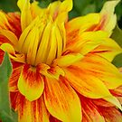 Flame Thrower Dahlia by Cee Neuner