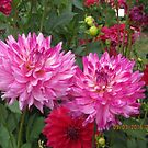 Pink, red and Yellow Dahlias by AuntieBarbie