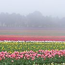 Wynyard's beautiful tulips, Tasmania by gaylene