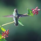 Hummingbird in Motion by Lisa Cook