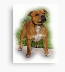Staffordshire Bull Terrier Canvas Print