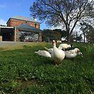 Quack Patrol - Ducks in the Vineyard by Greg Hamilton