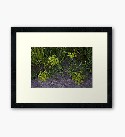 Rock Samphire, Inishmore, Aran Islands Framed Print