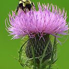 Bee on Thistle by lorilee