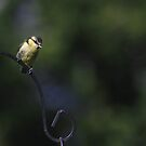 Young blue tit on bird feeder by turniptowers