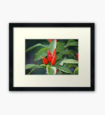 chili in vegetable garden Framed Print