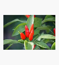 chili in vegetable garden Photographic Print