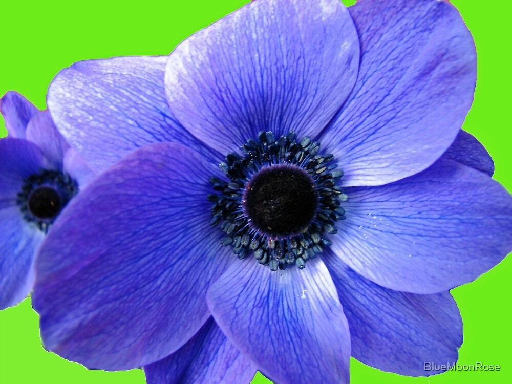 Blue Anemone on Green Background by BlueMoonRose