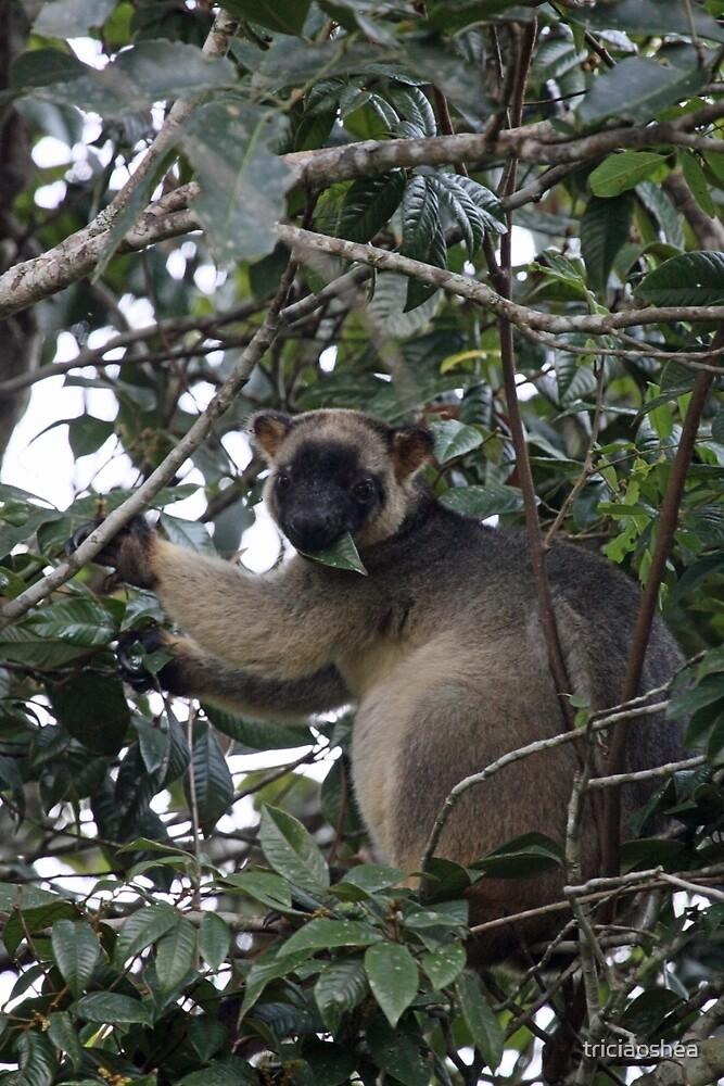 Lumholtz Tree Kangaroo by triciaoshea
