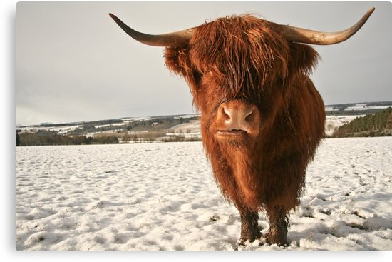 """""""Highland Cow in Snow"""" Canvas Prints by cjdolfin 