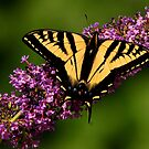 TIGER SWALLOWTAIL BUTTERFLY. by RoseMarie747