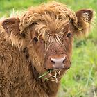 Highland Calf by M S Photography/Art