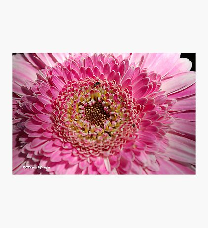 ALL IN PINK, UP CLOSE - GERBERA Photographic Print