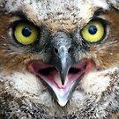 Little Owl by Studio8107