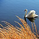 One Swan a Swimming by Studio8107