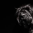 Black Russian Terrier by Gavin Poh
