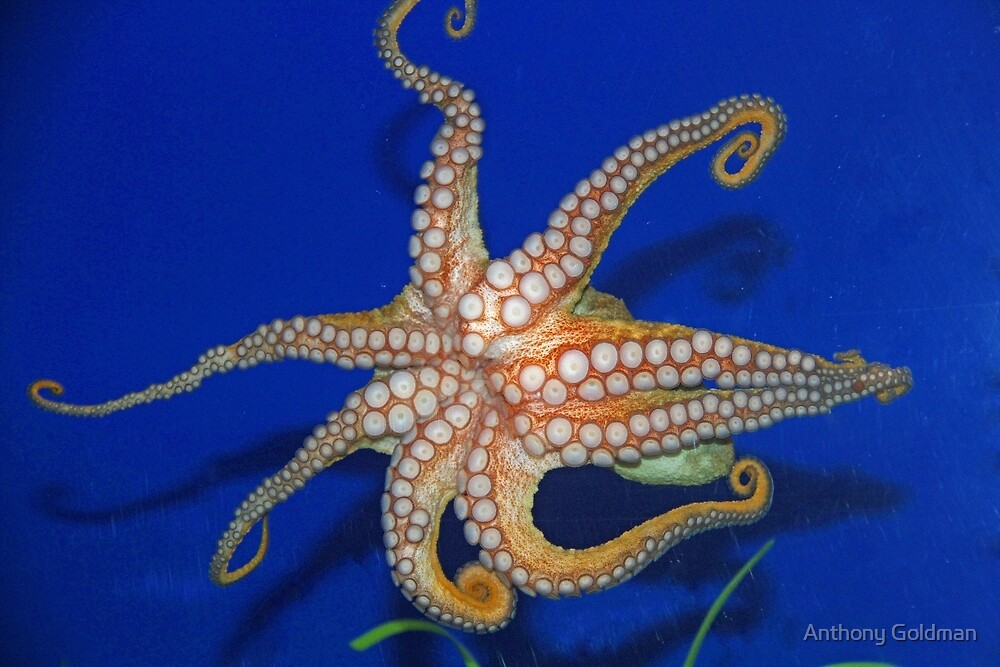 An octopus by Anthony Goldman