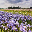 Bearded Iris Field by Cee Neuner