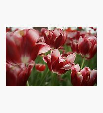 Red & White Tulips Photographic Print