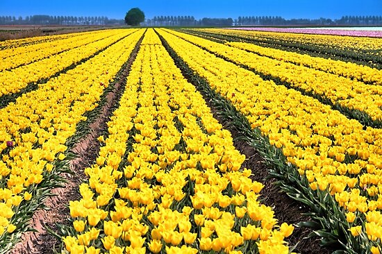 Yellow Tulips for Easter by Jo Nijenhuis