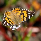 Painted Lady Butterfly by JLOPhotography