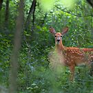 Forest Fawn - White-tailed deer by Jim Cumming