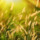 Grass in the Sun by Karl F Davis