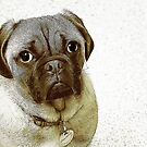 Little Pug by haymelter