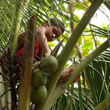 Gathering Coconuts - Pohnpei, Micronesia by alexzuccarelli