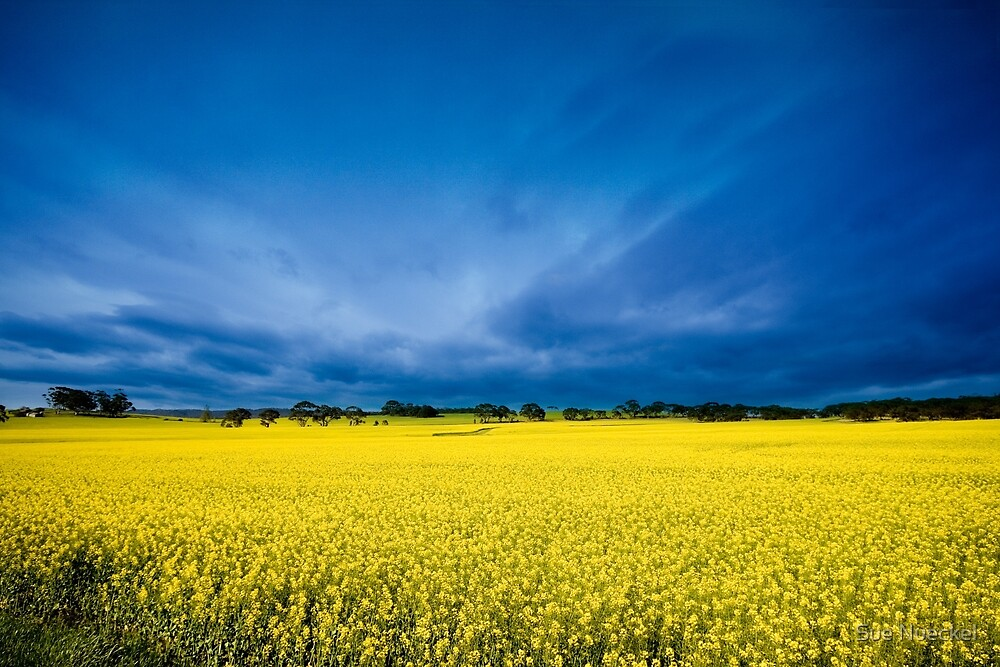 Golden Canola by Sue Nueckel