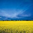 Golden Canola by Sue Nueckel