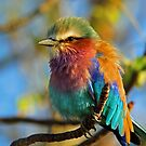 Lilac Breasted Roller in sparkling light! by Anthony Goldman
