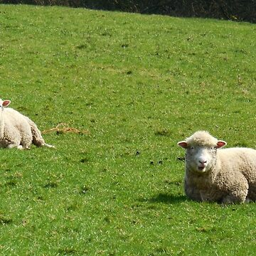 Ireland - Two Sheep relaxing in the sun by KookyCool