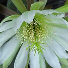 Peruvian apple cactus flower by David Chesluk