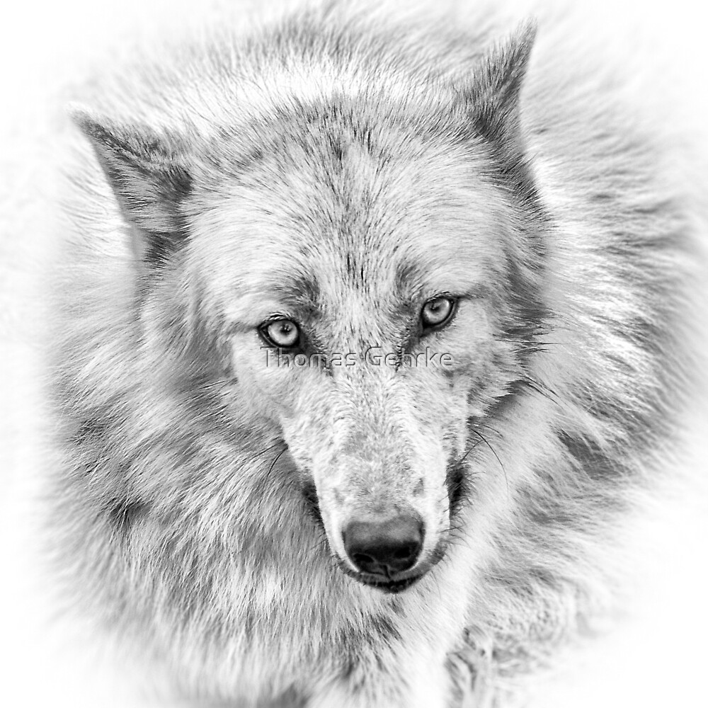Wolf Stare by Thomas Gehrke