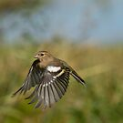 Chaffinch in flight by M S Photography/Art