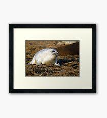 Fluffy frey seal pup Framed Print